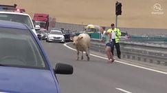 Byk szalał po słowackiej autostradzie