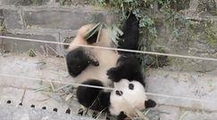 Szczęśliwy jak panda