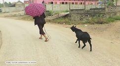 Ta koza to prawdziwy demon!