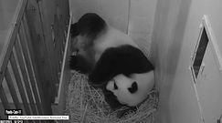 Panda wielka w zoo w Waszyngtonie urodziła młode