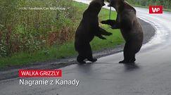 Walka grizzly. Nagranie z Kanady