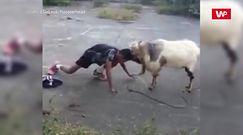 """Człowiek kontra koza. Nagranie """"pojedynku"""""""