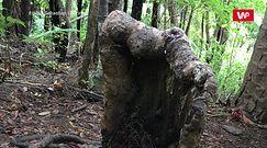 Drzewo-zombie. Niezwykłe, przypadkowe odkrycie