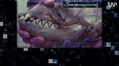 Zęby krabojada