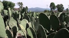 Pierwsza elektrownia zasilana kaktusami powstała w Meksyku