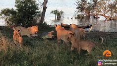 Lwy liczyły na łatwą zdobycz