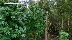 Miał 7 kg marihuany i 420 porcji amfetaminy. Ogromna plantacja narkotyków na Dolnym Śląsku