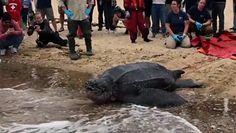 Na ratunek żółwiowi. Ogromny gad wrócił do oceanu