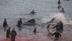 Grindadrap. Brutalna rzeź ssaków na Wyspach Owczych. Tradycja sprzed 1000 lat