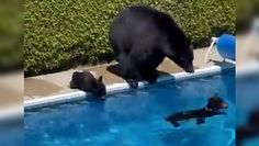 Niedźwiedzie w basenie. Zaskakujące nagranie z Kanady