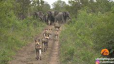 Słonie konta likaony. Zobacz nagranie z safari