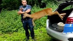 Sarna utknęła w ogrodzeniu. Nagranie z nietypowej interwencji policji w Nowej Soli