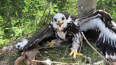 Odbudowali orle gniazdo. Wielka akcja leśników w Ustrzykach Dolnych