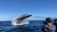 Morski gigant wyskoczył z wody. Oszałamiające wideo z USA