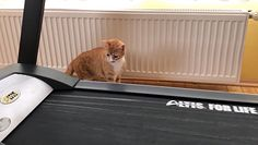 Kot i bieżnia w domu. To musiało się tak skończyć