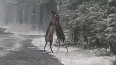 Bliskie spotkanie z danielami. Niezwykłe nagranie leśników z Dolnego Śląska