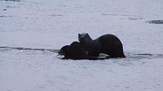 Opiekuńcza wydra karmi swoje młode. Niezwykłe nagranie z Bieszczad