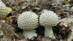 Muchomor jeżowaty. Niejadalny grzyb, który występuje w polskich lasach