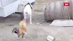 Pies kontra kogut. Kłótnia uchwycona na nagraniu