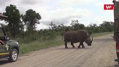 Nosorożec atakuje samochody. Przerażające nagranie świadka