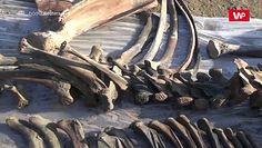 Kości nastoletniego mamuta. Niezwykłe odkrycie z rosyjskiej Arktyki