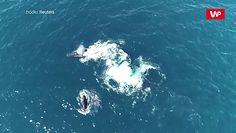 Polowanie na humbaka u wybrzeży Australii. Stado orek osaczyło wieloryba