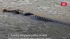 Krokodyl w oponie. Szukają chętnego do uwolnienia gada