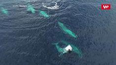 Migracje wielorybów. Niesamowite nagranie z drona