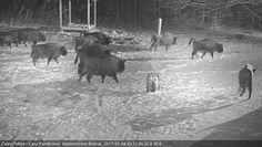 Wilki kontra żubry. Walka o zaśnieżoną polanę
