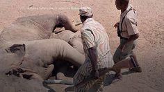 Krokodyl zaatakował słonia. Na pewno nie na taki finał liczył