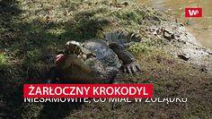 Żarłoczny krokodyl. Niesamowite, co miał w żołądku