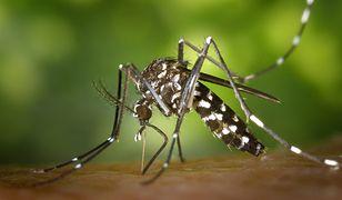 Komar tygrysi w Europie