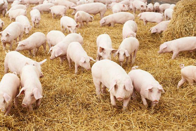 Aktywiści pokazali cierpienie świń w rzeźni. Grozi im gigantyczna kara