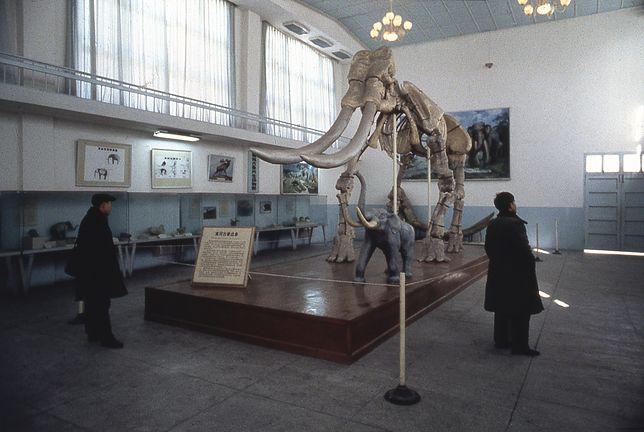 Szkielet mamuta w muzeum w Hefei w Chinach (zdjęcie ilustracyjne)