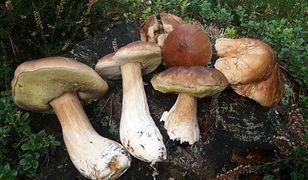 Wysyp grzybów w polskich lasach. Czytelnicy się chwalą