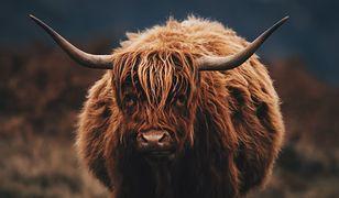 Cybinka: krowy na gigancie sieją postrach na drogach. Gmina chce je odebrać właścicielowi