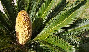 Prehistoryczna roślina wyrosła w Wielkiej Brytanii z powodu zmian klimatu.