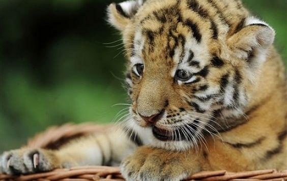 Tygrysek z berlińskiego zoo
