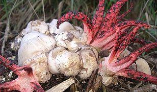 Grzyb diabelskie palce. Egzotyczny grzyb w polskich lasach