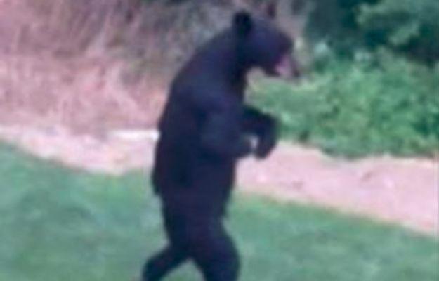 Niedźwiedź, który chodził jak człowiek został zabity. Myśliwy polował na niego 3 lata
