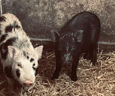 Urzędnicy szukają właściciela dwóch świnek wietnamskich