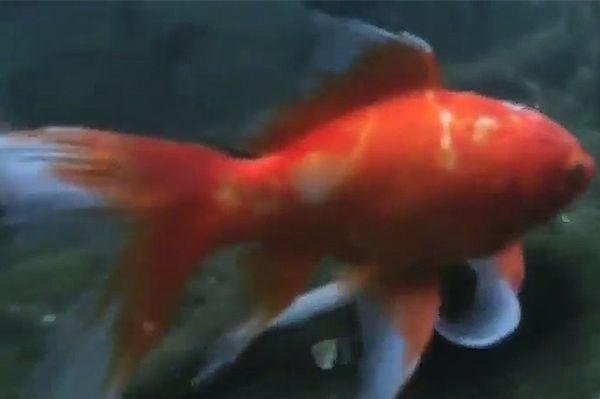 Pionierska operacja guza mózgu złotej rybki w Australii