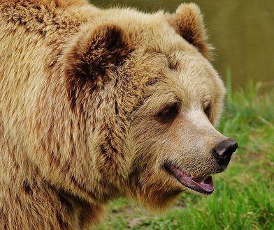 Tragedia w USA. Kobieta w trakcie spaceru spotkała niedźwiedzie