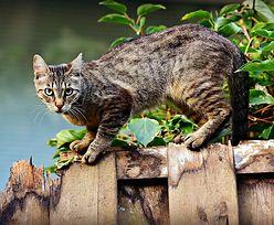 """Twój kot dostaje wieczorem """"głupawki""""? Ekspert wyjaśnia"""