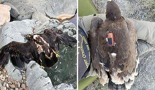 Mężczyzna znalazł orła z nadajnikiem GPS. A na nim jego 20-letnia wędrówka