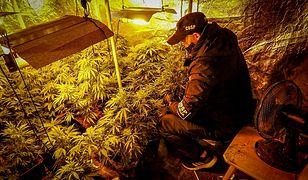 Śląskie. Ależ plantacja konopi! 100 kilogramów marihuany nie trafi na rynek