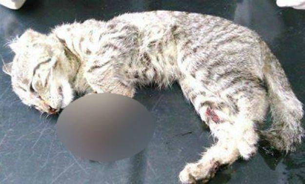 Ktoś bestialsko skatował małego kotka. TOZ oferuje nagrodę za pomoc w złapaniu sprawcy