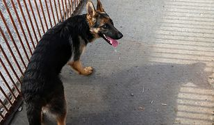 Wielkopolska. Psy pogryzły dziecko. 11-latek w szpitalu