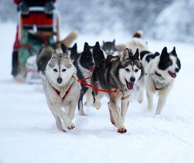 W Zakopanem możesz nawet wcielić się w rolę maszera - przewodnika psiego zaprzęgu