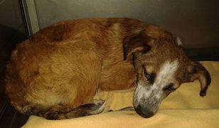 """Ślesin: pobił psa metalowym prętem, bo """"go zdenerwował"""". Grożą mu 3 lata więzienia"""